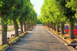 朝のポプラ並木とラベンダーなどの花畑の写真素材 [FYI01510862]