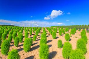 ほうき草の丘の写真素材 [FYI01510898]