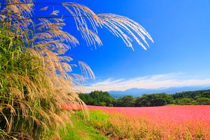 花咲く赤そば畑とススキと仙丈ヶ岳など南アルプスの写真素材 [FYI01510943]