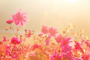 朝の光とコスモス畑の写真素材 [FYI01510949]