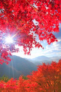紅葉のモミジの林と木もれ日の光芒と萱野高原方向の山並み,朝の写真素材 [FYI01510956]