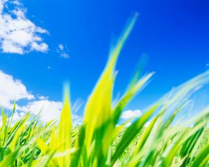 若草揺れる牧草地の写真素材 [FYI01510996]