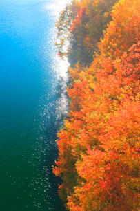 紅葉の樹林と輝くもみじ湖の写真素材 [FYI01511001]