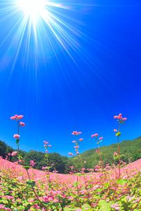 花咲く赤そば畑と太陽の光芒の写真素材 [FYI01511076]
