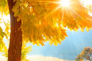 黄金アカシアの紅葉と朝霧の聖湖と朝日の木もれ日の光芒の写真素材 [FYI01511145]