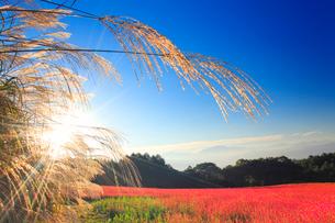 花咲く赤そば畑とススキと朝日の光芒の写真素材 [FYI01511148]