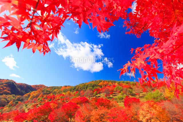 紅葉のモミジの林の写真素材 [FYI01511205]