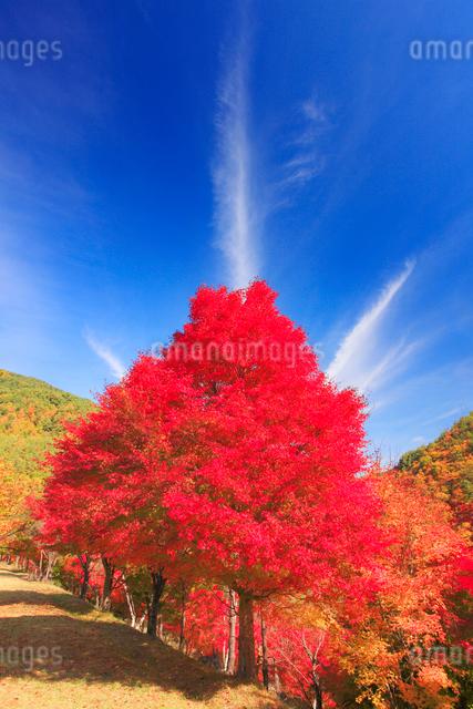 紅葉のモミジの樹林と秋空の写真素材 [FYI01511249]