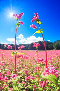 花咲く赤そば畑の花のアップと太陽の光芒の写真素材 [FYI01511257]