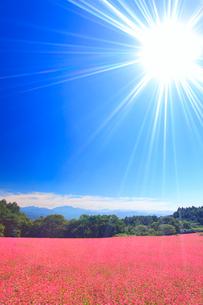 花咲く赤そば畑と仙丈ヶ岳など南アルプスと太陽の光芒の写真素材 [FYI01511260]