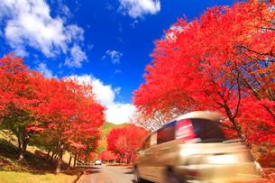 紅葉のモミジの並木と道路と自動車の写真素材 [FYI01511306]