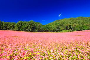 花咲く赤そば畑の写真素材 [FYI01511309]