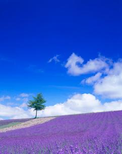 ラベンダー畑と木立の写真素材 [FYI01511313]