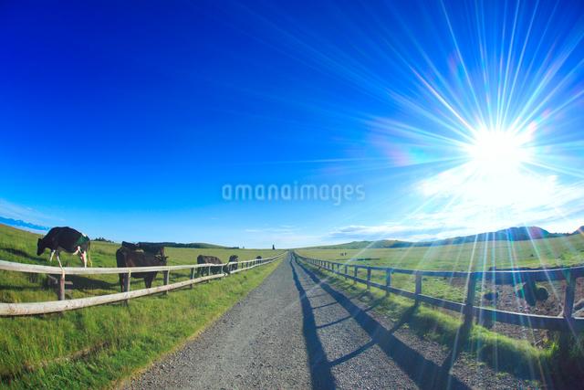牧場の道と美しの塔と黒毛和牛と太陽の光芒の写真素材 [FYI01511315]