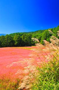花咲く赤そば畑とススキと木曽駒ヶ岳の写真素材 [FYI01511328]