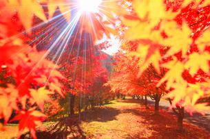 紅葉のモミジの並木と木もれ日の光芒の写真素材 [FYI01511384]
