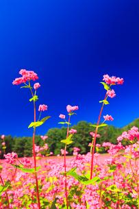 花咲く赤そば畑の写真素材 [FYI01511413]