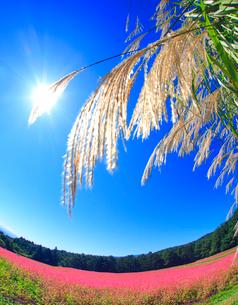 花咲く赤そば畑とススキと太陽の光芒の写真素材 [FYI01511417]