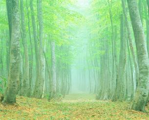 朝霧の新緑のブナ林の写真素材 [FYI01511424]