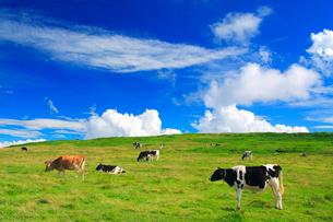 ホルスタインとジャージー種の牛と牧草地の写真素材 [FYI01511430]