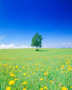 タンポポ咲く牧草地と木立の写真素材 [FYI01511459]