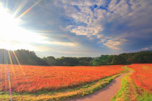 花咲く赤そば畑と道路と朝日の光芒の写真素材 [FYI01511472]