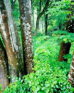 雨に濡れる新緑のブナ林の写真素材 [FYI01511484]