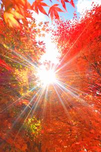 紅葉のモミジの林と木もれ日の光芒の写真素材 [FYI01511511]