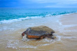 産卵後、海に帰るウミガメの写真素材 [FYI01511619]