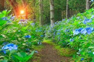 アジサイと朝日の木もれ日と遊歩道の写真素材 [FYI01511638]