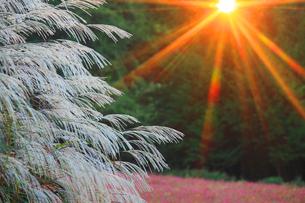 花咲く赤そば畑とススキと朝日の光芒の写真素材 [FYI01511639]