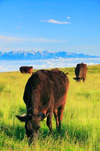 黒毛和牛と白馬岳など北アルプスの山並みの写真素材 [FYI01511737]
