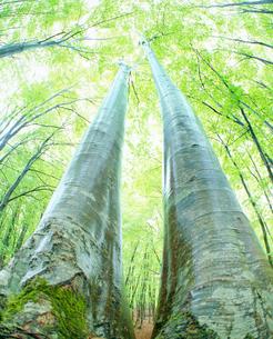 雨に濡れる新緑のブナ林の写真素材 [FYI01511738]