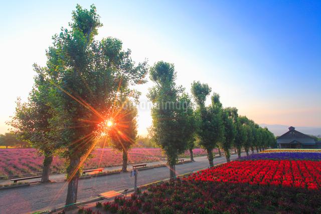 ポプラ並木とラベンダーなどの花畑と朝日の木もれ日の写真素材 [FYI01511749]