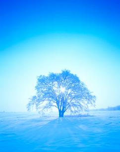 霧氷のはるにれの木と朝日の木もれ日の光芒の写真素材 [FYI01511754]