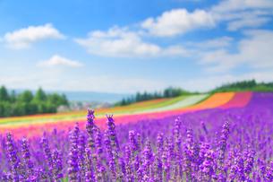 ラベンダーの花畑の写真素材 [FYI01511794]