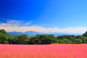 花咲く赤そば畑と飛行機雲と仙丈ヶ岳など南アルプスの写真素材 [FYI01511797]