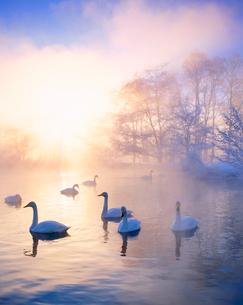 朝霧の釧路川のハクチョウと霧氷の樹林と朝日の木もれ日の写真素材 [FYI01511803]