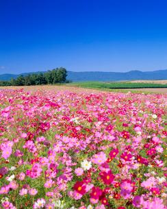 コスモス咲く丘の写真素材 [FYI01511817]