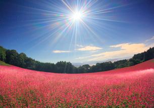 月夜の花咲く赤そば畑のライトアップと仙丈ヶ岳など南アルプスの写真素材 [FYI01511833]