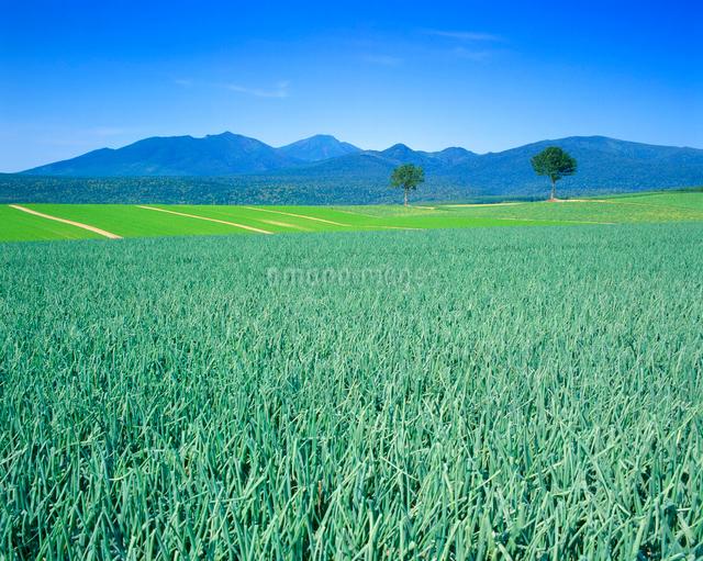 タマネギとニンジンの畑と十勝連峰とメルヘンの木の写真素材 [FYI01511836]