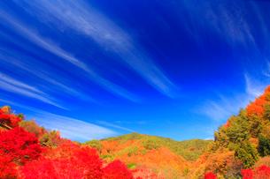 紅葉のモミジの林と秋空の写真素材 [FYI01511842]