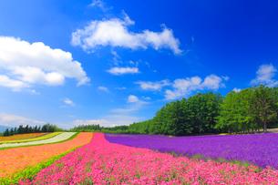 ラベンダーと小町草などの花畑の写真素材 [FYI01511951]