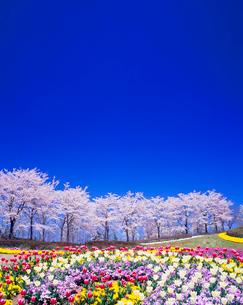 ソメイヨシノの並木とチューリップ畑の写真素材 [FYI01511991]