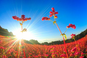 花咲く赤そば畑の花のアップと朝日の光芒の写真素材 [FYI01511995]