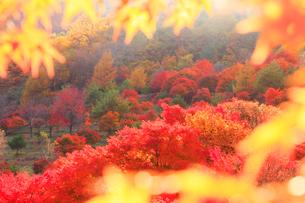 紅葉のモミジの林,夕景の写真素材 [FYI01512040]
