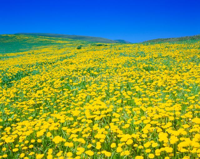タンポポ咲く牧草地の写真素材 [FYI01512087]