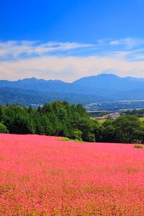 花咲く赤そば畑の写真素材 [FYI01512119]