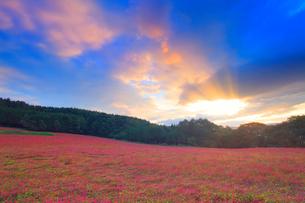 花咲く赤そば畑と朝焼けの光芒の写真素材 [FYI01512166]