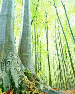 雨に濡れる新緑のブナ林の写真素材 [FYI01512253]